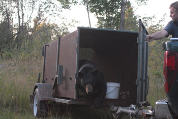 Bear Exiting Trailer